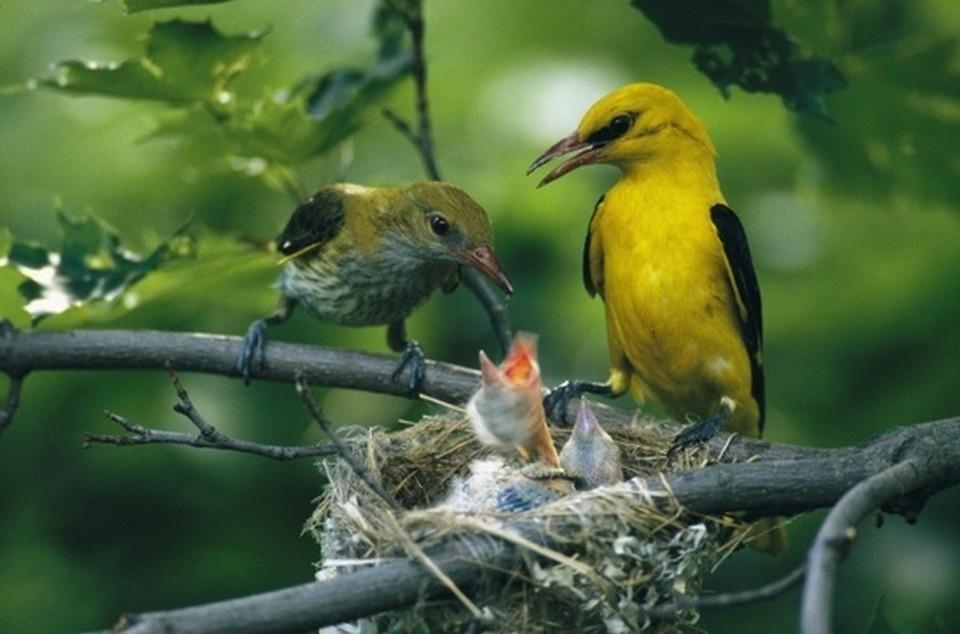 ABC sorrendben: madárnevek - képes játék Aranymalinkopar